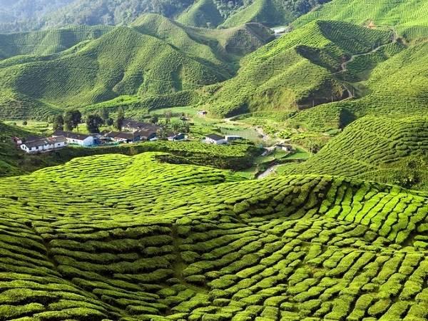 malaysia-cameron-highland