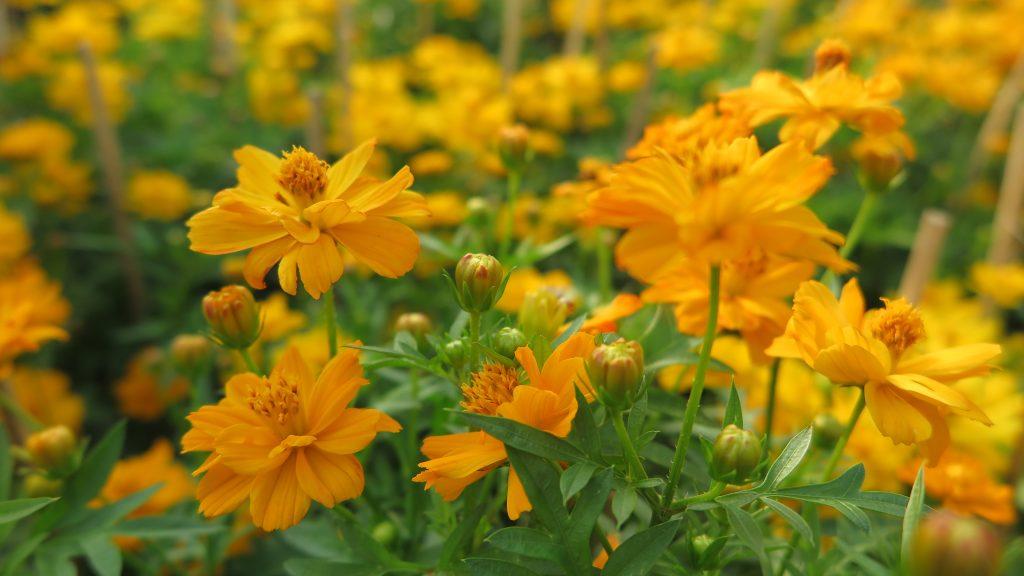 IMG 2958 1024x576 - Miền Tây tháng chạp rực rỡ sắc hoa - Phần 113 - hanh-trinh-25, du-lich