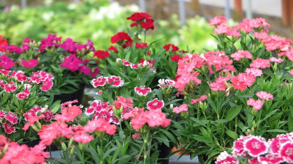 IMG 2966 1024x576 - Miền Tây tháng chạp rực rỡ sắc hoa - Phần 113 - hanh-trinh-25, du-lich